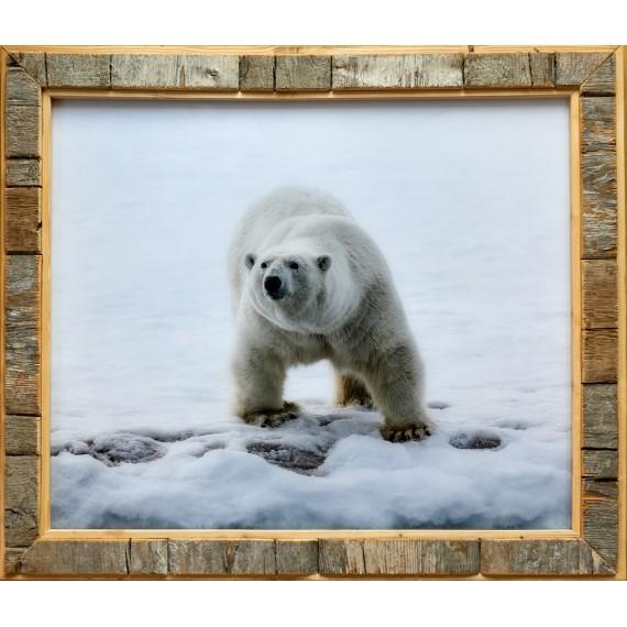 Foto med Svalbard-drivved-bilderamme: isbjørn i Hornsund