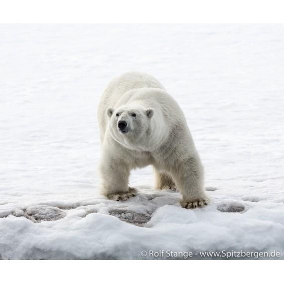 Fotodruck mit Treibholz-Bilderrahmen: Eisbär im Hornsund