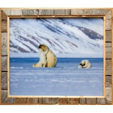 Foto med Svalbard-drivved-bilderamme: isbjørnfamilie i Tempelfjorden