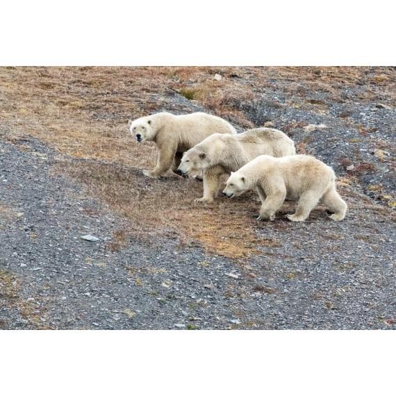 Rolf & Kristina Hochauf-Stange, 31.3.: Arktische Tierwelt - Rentier und Eisbär