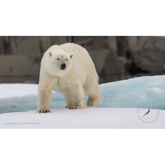 Skjermsparer: Svalbards isbjørner