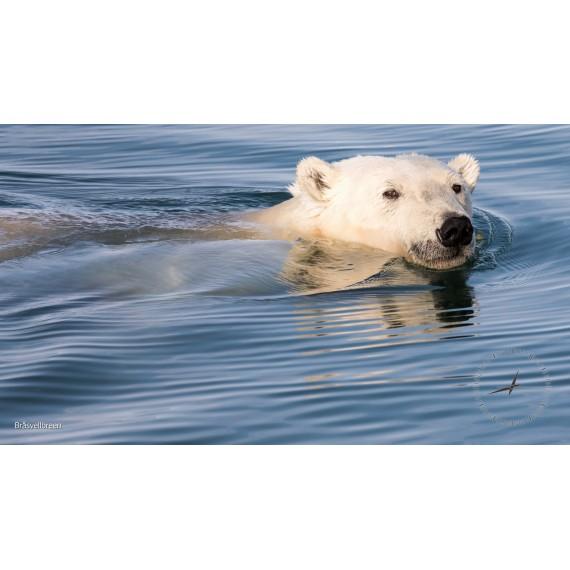 Bildschirmschoner: Spitzbergens Eisbären
