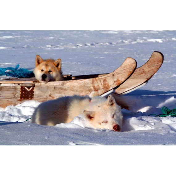 Scoresbysund Hot Dogs – Mit Hundeschlitten in Grönland
